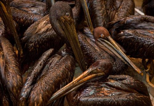 pelikany z zatoki meksykańskiej